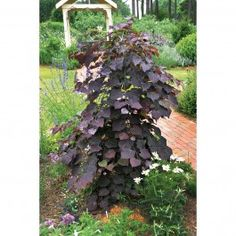 Arborele Iudei canadian | Sieberz S.R.L  Cercis canadensis 'Forest Pansy'