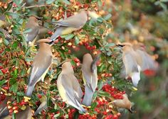 birds eating cherries | flock of birds eating cherries this article is a full explanation of ...