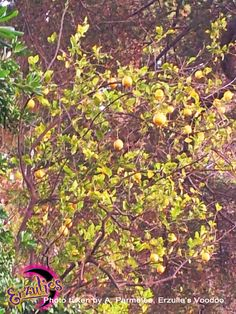Another view of this enormous wild lemon tree...