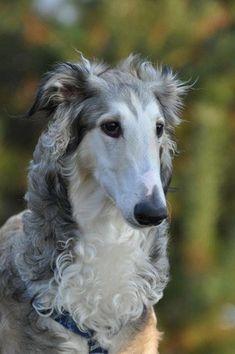 Borzoi/気位が高そうだけど、実は甘えん坊な犬|「Dog Safety 倶楽部 」のファンがつくるサイト