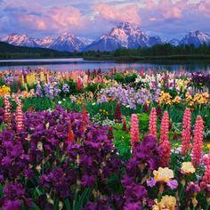 Iris and Lupine garden - Adam Jones.