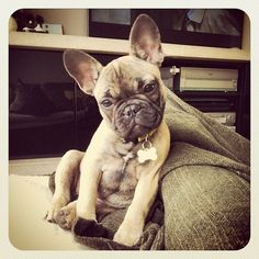 My dream dog(: French Bulldog.