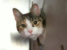 WHISKEY - 11502 - - Manhattan *** TO BE DESTROYED 11/13/17 *** WHISKEY is a spayed girl who is about 2 yrs old and not too happy at being put in the shelter. She needs a good home asap! - Click for info & Current Status: http://nyccats.urgentpodr.org/whiskey-11502/