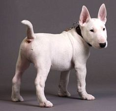Mini Bull Terrier - one of my favorite breeds