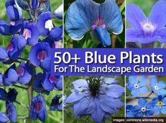 50 Blue Plants for the Landscape Garden I'm always looking for blue on patriotic…