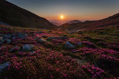 The sunrise - Rhododendrons in Rodnei Mountains Romania by Popa  Gheorghe on 500px