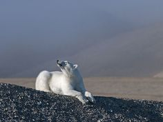 Taking the sun? Smelling it's next food? Just posing for a pic? :) #polarbear #bears #Arctic