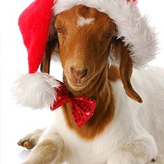 What an adorable yule goat! Noel Christmas, Christmas Animals, Christmas Cats, Farm Animals, Animals And Pets, Funny Animals, Cute Animals, Cabras Boer, Goat Picture