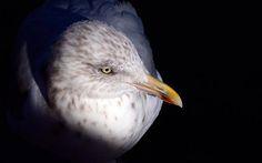 Title  Gull #2   Artist  Stuart Litoff   Medium  Photograph - Photograph