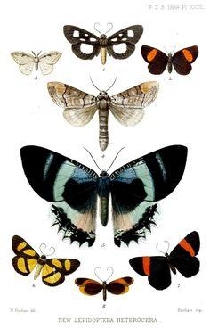 File:Lepidoptera1Purkiss1888.jpg