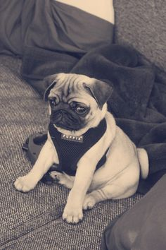 bobdoom:  Stop it.  Stop being so sweet (winston-the-pug)