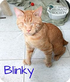 Pictures of Blinky a Domestic Shorthair for adoption in Covington, LA who needs a loving home.