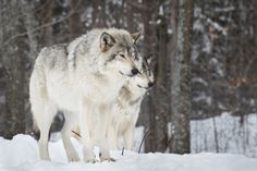 Grey Timber Wolf Pack | by: { Al Robinson }