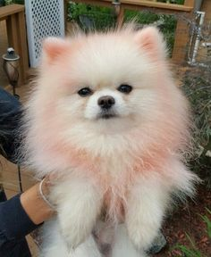 Washable painting with pomeranian dog at The Glamour pups Animals And Pets, Baby Animals, Cute Animals, Cute Puppies, Cute Dogs, Macho Alfa, Pomeranian Puppy, Chihuahua, Pomes