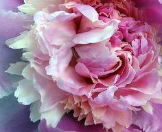 peony, my favorite flower