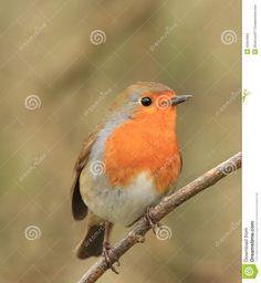 Robin Tattoo, Wrens, Robins, Bird, Tattoos, Animals, Beautiful, Tatuajes, Animales