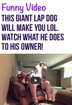 I can't imagine having a dog this big! It must be so much fun! #greatdanes #dogs #pets