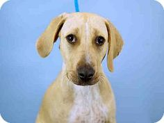 Ft Lauderdale, FL - Mastiff Mix. Meet CHEWY, a dog for adoption. http://www.adoptapet.com/pet/13669661-ft-lauderdale-florida-mastiff-mix