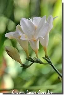 Freesia Couleur fleur : blanche