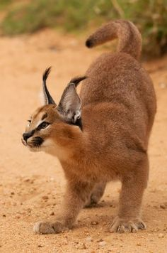 Top 5 Amazing Big Cats #caracal