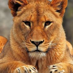 A lioness does not concern herself with the opinions of a Sheep ✊