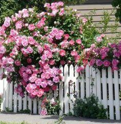 すごい花付き。品種が知りたい。