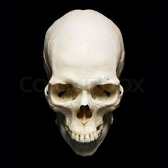 real human skull front view black and white - Google Search
