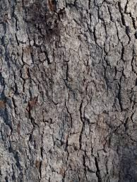 Resultado de imagem para eucalipto tronco