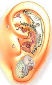 Ear reflexology: & the fetal position. Ear reflexology: & the fetal p Ear Reflexology, Acupressure, Traditional Chinese Medicine, Baby Center, Wellness Fitness, Positivity, Second Trimester, Pain Relief, Reiki