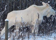 "Albino Moose  The North America moose is the largest extant species in the deer family. Moose are distinguished by the palmate antlers of the males — other members of the family have antlers with a ""twig-like"" configuration."