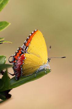 """Purple Sapphire / """"Uma borboleta amarela? Ou uma folha seca Que se desprendeu e não quis pousar?"""" (Mario Quintana)"""