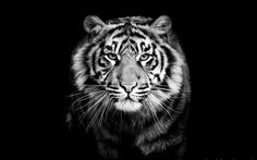 Black tiger photos 1600×1000 Black And White Tiger Wallpapers (44 Wallpapers) | Adorable Wallpapers