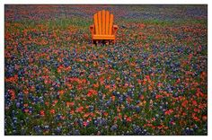 Imagine sitting in the middle of bluebonnet an Indian paintbrush flowers.