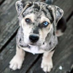 Comment if you like the Louisiana Catahoula Leopard puppy ❤️❗️ Follow @dailypawz for more puppies❗️ @dailypawz  @dailypawz  @dailypawz  #dog #animals #instafollow #animal #cute