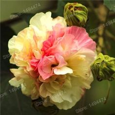 200pcs Mixed colors Hibiscus Seeds China's flower seeds Hibiscus Rosa Sinensis Seeds Giant Tree Seeds bonsai plant home garden