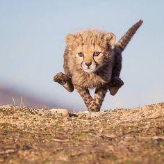 This cute cub is learning full speed running! 📸 Amazing photo by ✥ ✥ 🦁 Follo Wildlife Safari, Wildlife Nature, Baby Animals, Cute Animals, Wild Animals, Baby Cheetahs, Wildlife Biologist, Cheetah Cubs, Zoo Photos