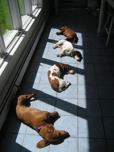 Dozing in the warm sunny spots. So sweet and comical. I love it when our dogs doze in the warm spots.