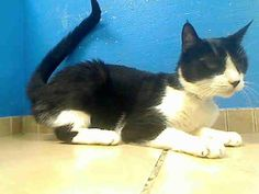 Brooklyn Center  LILLY - ID#A0957384  I am a spayed female, black and white Domestic Shorthair. The shelter staff think I am about 8 years old. I weigh 7 pounds. I was found in NY 11203. I have been at the shelter since Apr 15, 2013.