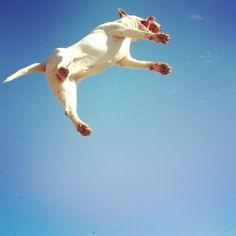 Bull terrier volador!! Bobo
