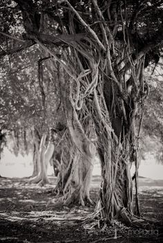 Fine Art Nature Photograph Revealing Tree by HelenMPhotography, Puerto Rico, Magnificent Tree, Skeletal Tree, Black & White Photography