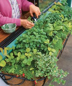 The shady window box includes four kinds of mint (pineapple, spearmint, peppermint, Corsican mint ground cover), chervil, alpine strawberries, sorrel, salad burnet, and violas and violets for garnish.