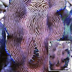Derasa Clam is the southern giant clam, Tridacna derasa, is a species of extremely large saltwater clam, a marine bivalve mollusk in the family Tridacnidae, the giant clam family.