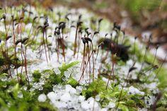 Die Raumfee: Graupelschnee auf Moos // sleet snow on moss
