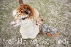 overview of alpaca ownership