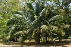 Attalea phalerata - Palmpedia
