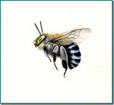 Bee No Australian Blue Banded Bee: Amegilla cingulata Insect Tattoo, Bee Tattoo, Tawny Mining Bee, Big Bee, Bee Drawing, Bee Illustration, Australian Native Flowers, I Love Bees, Photo Pattern