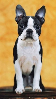 Free tip - how to stop your Boston Terrier from barking #BostonTerrier