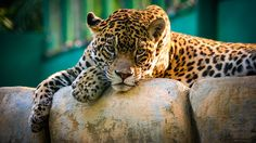 Bengali tiger taking some rest...!