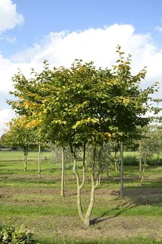 Carpinus betulus | Van Roessel Topiary Trees Roof Shapes, Acer Palmatum, Topiary Trees, Plant Species, Trees And Shrubs, Dream Garden, Garden Plants, Outdoor Gardens, Outdoor Structures