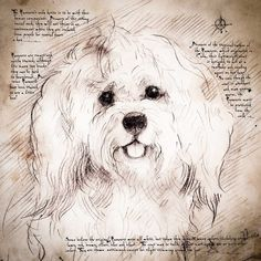 """Havanese Face"" Detail of a Da Vinci style drawing"